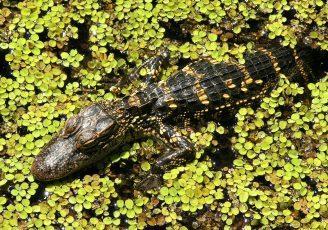 aligator des evergaldes de Floride